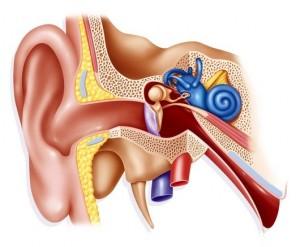 inner_ear-300x247